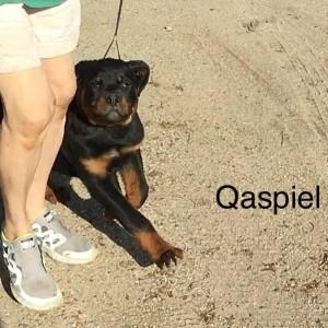 Gordon puppy b